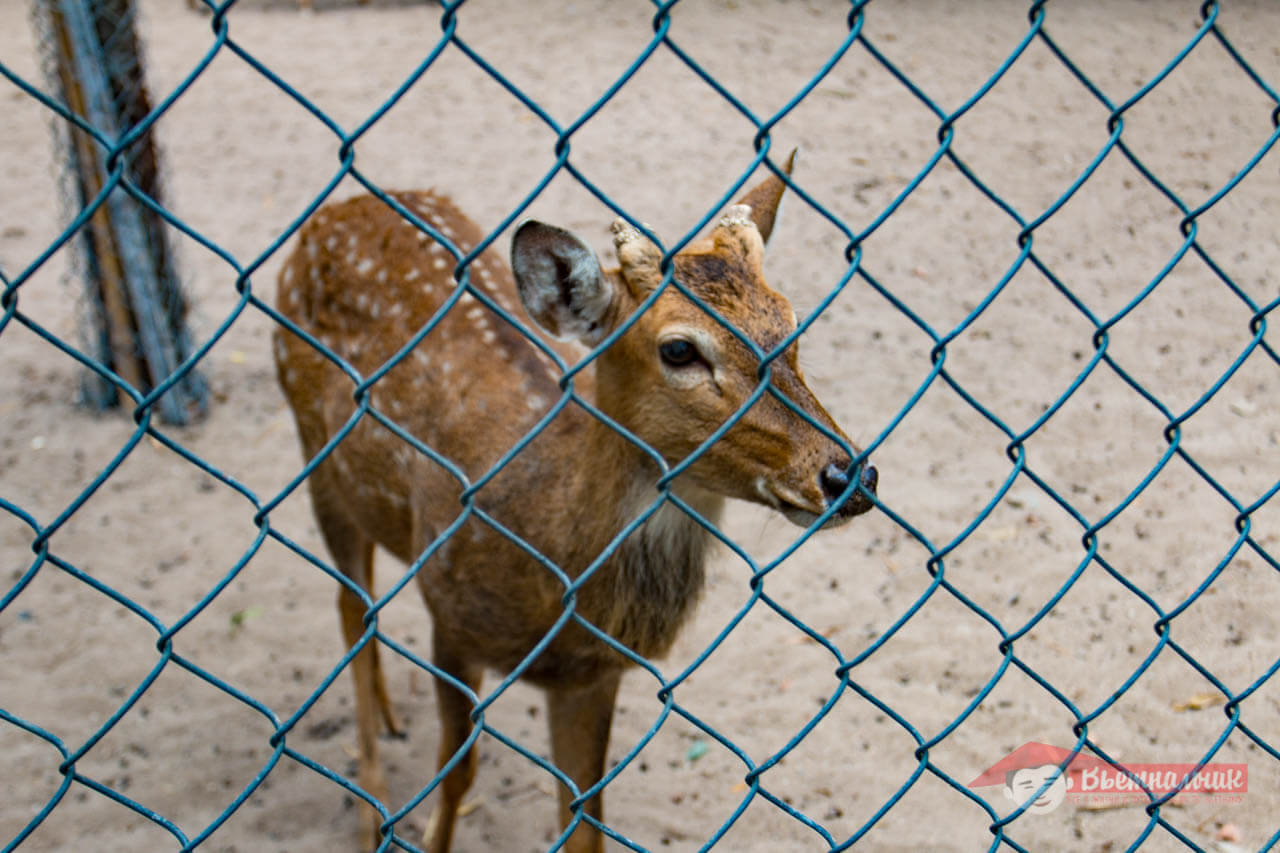 Little deer behind the fence