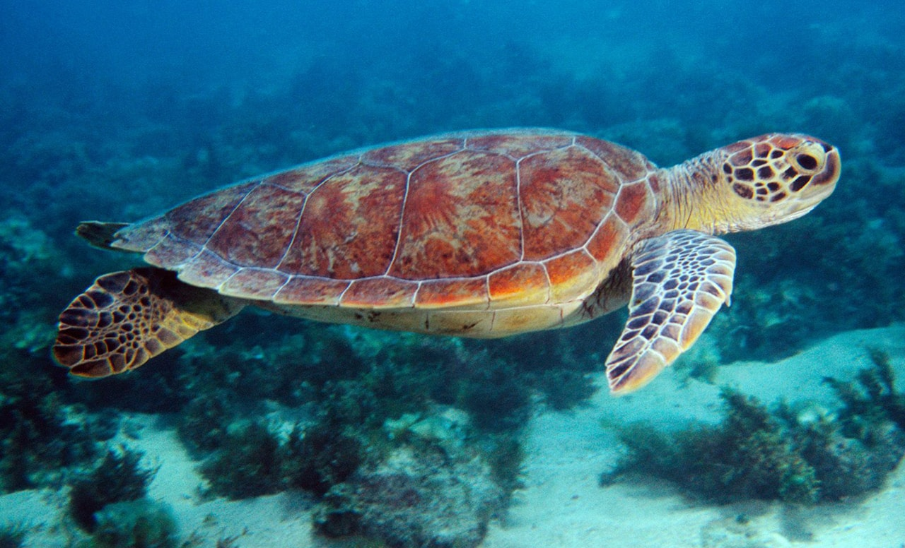 Turtle in the South China Sea