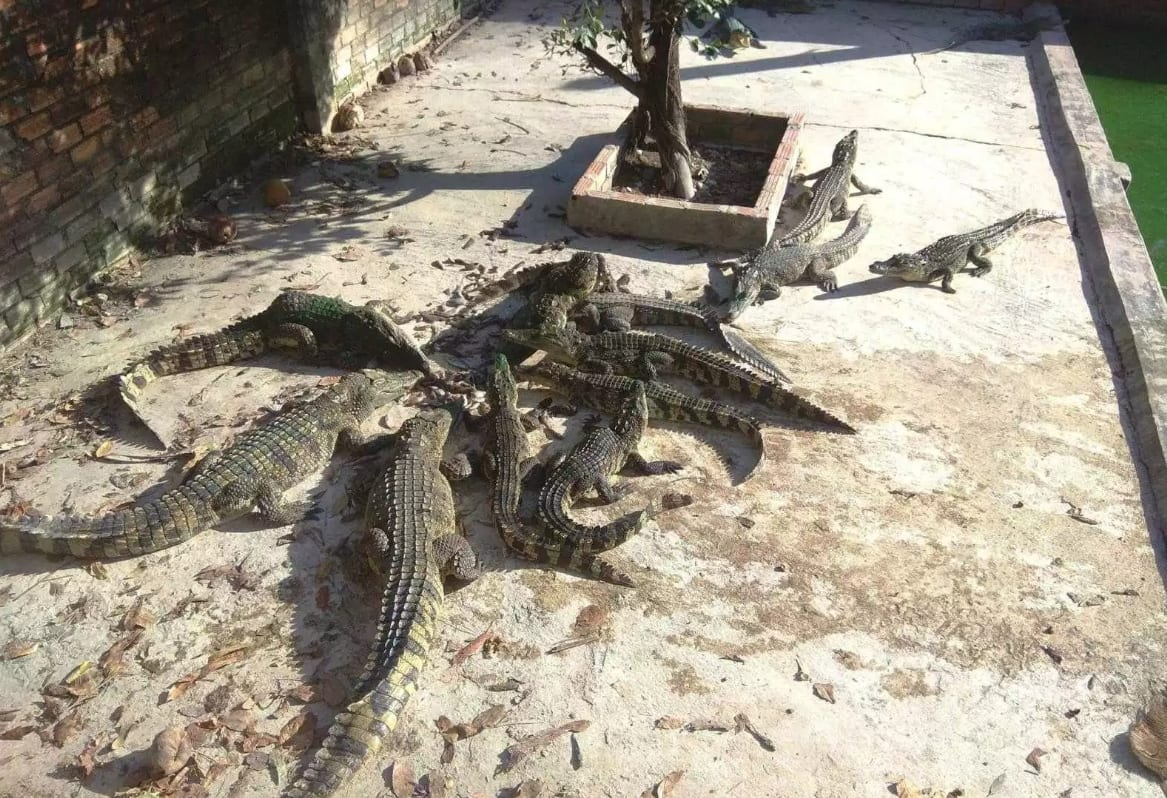 Crocodiles eat