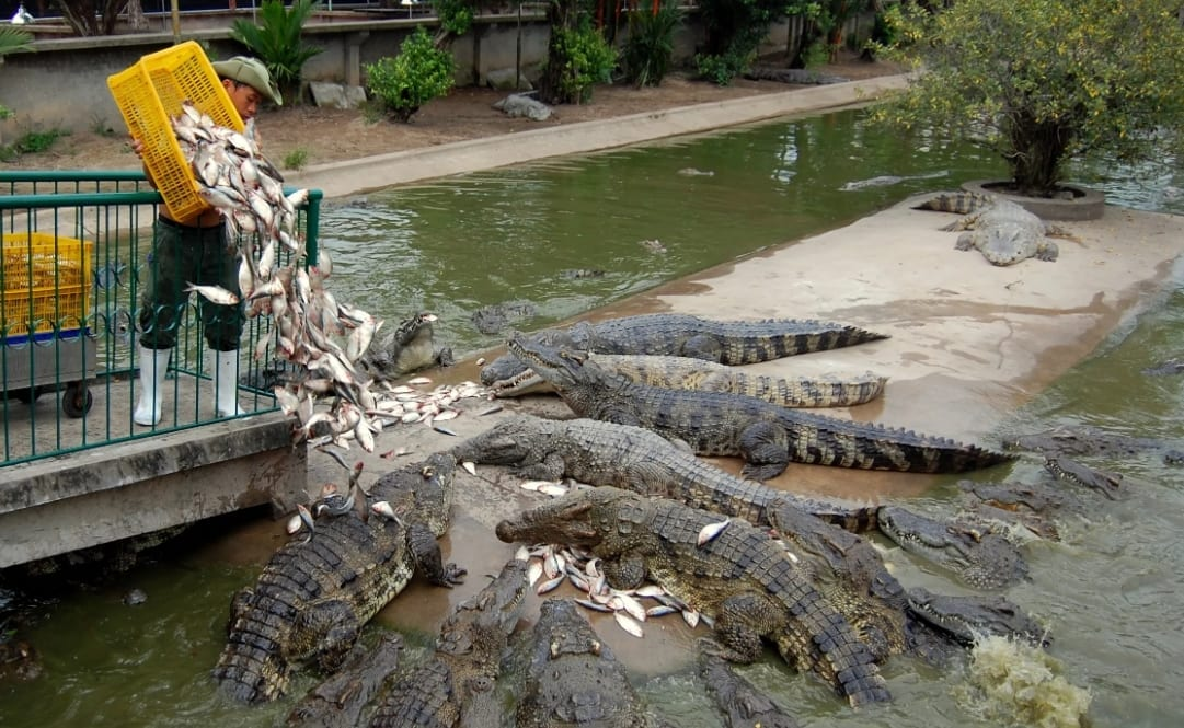 Crocodile feeding